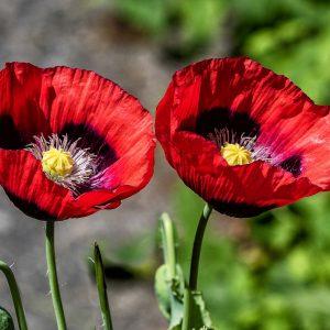 Mohnblumen Blüten
