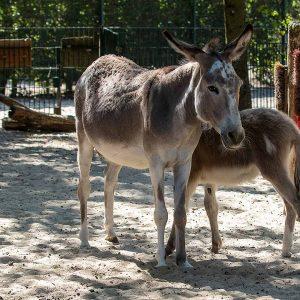 Esel im Tierpark Nordhorn