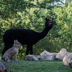 Alpacca_im_Tierpark_Nordhorn
