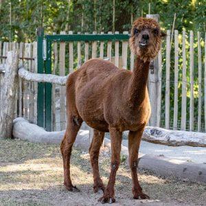 Alpacca im Tierpark Nordhorn